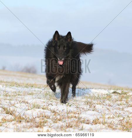Six Years Old Groenendael Running In Winter