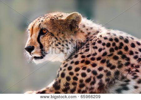 Portrait Of A Wild Cheetah