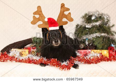 Black Chien De Berger Belge With Reindeer Antlers In A Christmas