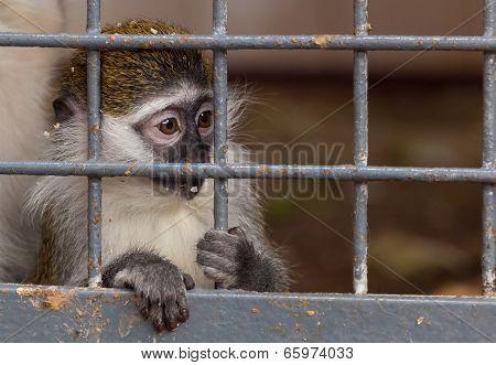 Portrait Of A Little Monkey Behind Bars