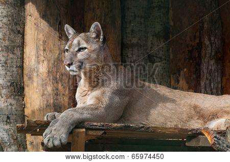 Portrait Of Lying Puma