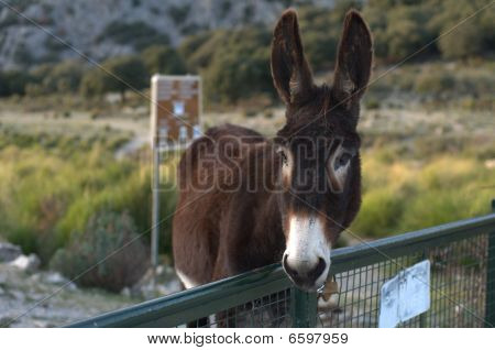 Donkey In Mountains Of Mallorca