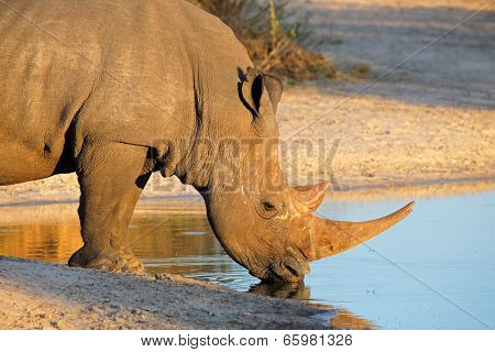 Portrait of a white rhinoceros (Ceratotherium simum) drinking water, South Africa