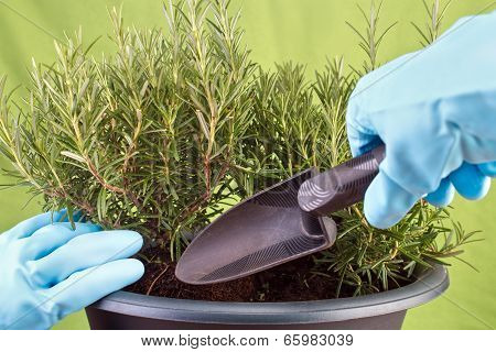 Planting rosemary herb