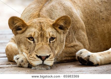 African lioness resting in the late afternoon