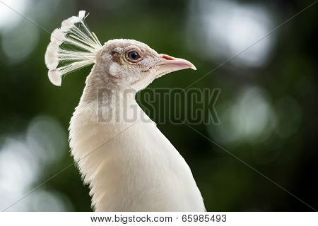 Close up portrait of female peahen