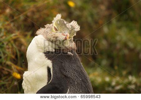 Juvenile Penguin During Molt