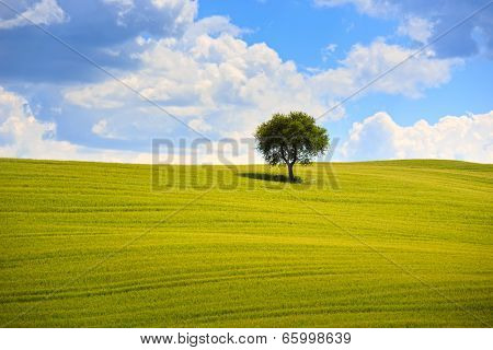 Tuscany, Olive Tree And Green Fields. Montalcino Orcia, Italy.