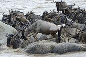 stock photo of wildebeest  - Wildebeest stucked on rocks in the Mara river while crossing - JPG
