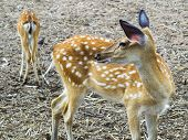 image of deer family  - Deer are the ruminant mammals forming the family Cervidae - JPG
