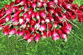pic of radish  - Many fresh radish with leaves on the grass - JPG