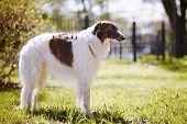 stock photo of spotted dog  - Hunting dog - JPG