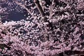pic of night-blooming  - Sakura flower at night - JPG