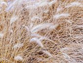 stock photo of pampa  - pampa grass in winter with ice corns in the head - JPG