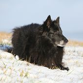 stock photo of bitches  - Beautiful ten years old bitch of Groenendael lying in the snow - JPG