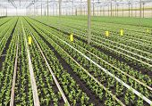 picture of cultivation  - cultivation of young plants in a greenhouse