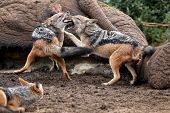 picture of jackal  - Two black backed jackals fighting over the carcass of a dead elephant - JPG