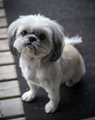 image of dog breed shih-tzu  - A small and cute Shih Tzu puppy dog sitting and looking up into the camera - JPG