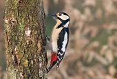 foto of woodpecker  - Photo of great spotted woodpecker on a tree - JPG