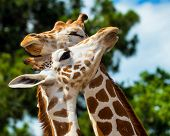 image of grooming  - Adult giraffes grooming each other after feeding - JPG