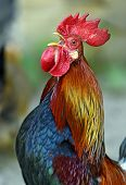 foto of fighting-rooster  - Beautiful decorative rooster on the farm in the spring