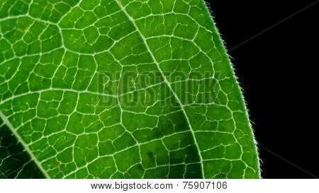 Close up deatil of a zinnia flower leaf.