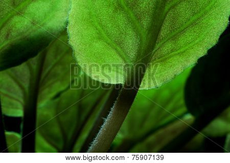 Close up detail of african violet (Saintpaulia sp.) leaves.