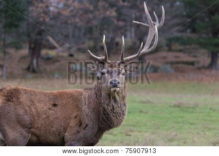 Large elk in the forest