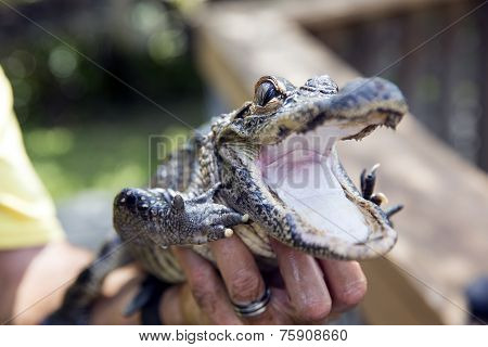 Cute baby alligator