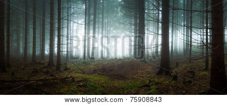 Gloomy spruce forest filled with fogged