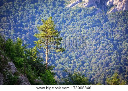 Pine tree in mountains on valley background
