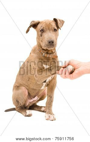 Portrait of a pitbull puppy with paw in the hand men