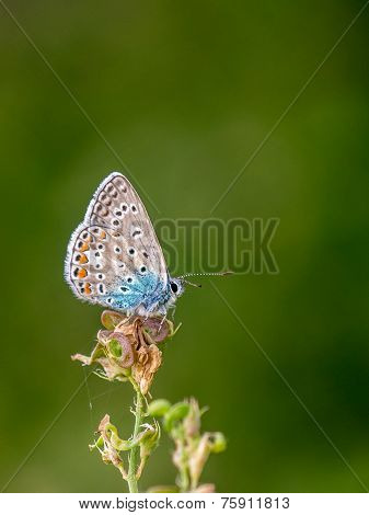 Isolated common blue butterfly sitting on a blossom