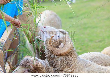 Hand Feeding Ruzi Grass For Merino Sheep In Farm