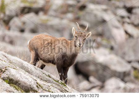 Lone Ibex