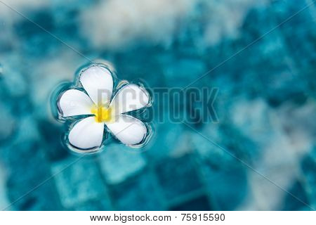 Single Serene Plumeria Flower Floating on Clear Blue Water as Seen from Above