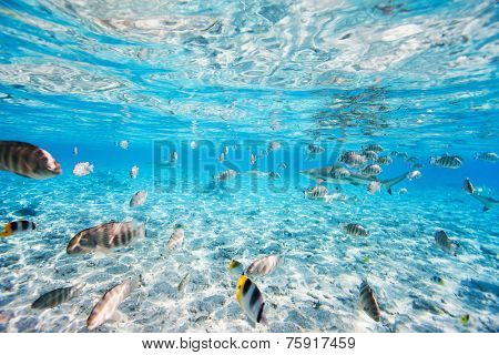 Fish and black tipped sharks underwater in Bora Bora lagoon