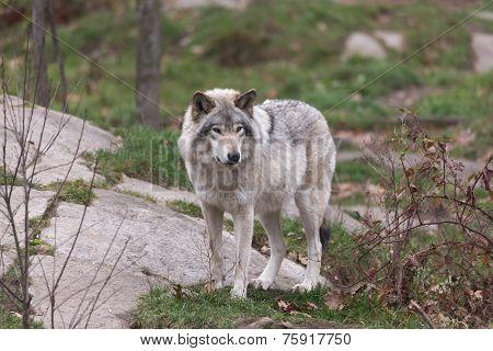 A lone Timbe Wolf