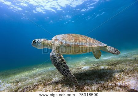 Hawksbill sea turtle swimming in tropical ocean