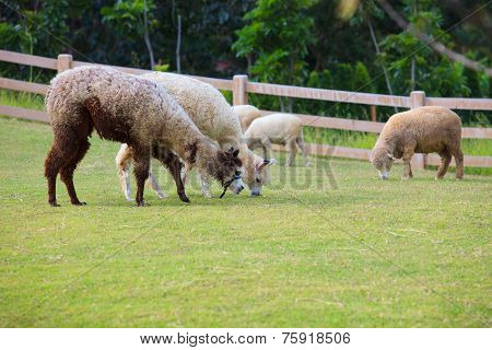 Folk Of Llama Alpacas Latin America Cattle  Feeding In Farm Grass Field