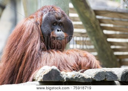 Beautiful male orangutan