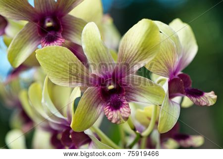 Spray of purple and green cymbidium orchids growing in the botanical gardens in Victoria, Mahe, Seychelles looking into the throat of the end orchid in close up view