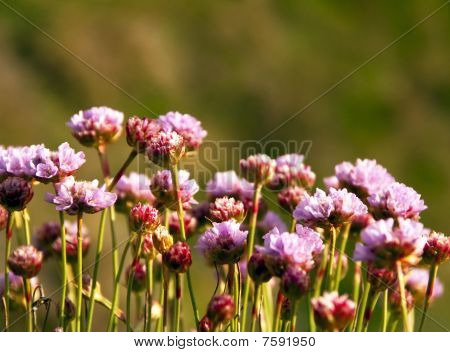 Armeria Maritima, Sea Pink Or Thrift,  Wild Pink Flowers