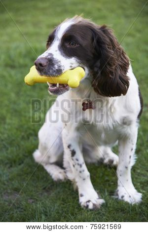 Spaniel Chewing Rubber Toy Bone In Garden