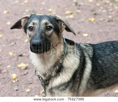 Brown Dog In Metal Collar On Green