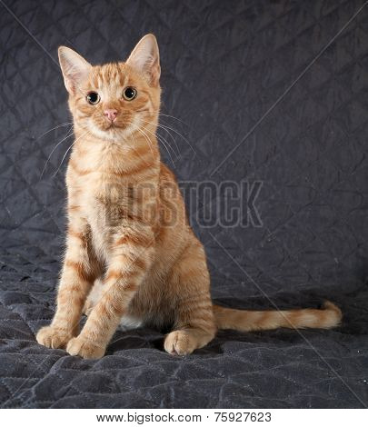 Ginger Kitten Sitting On Black Bedspread
