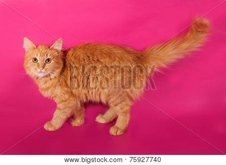Red Fluffy Kitten Sneaking On Pink