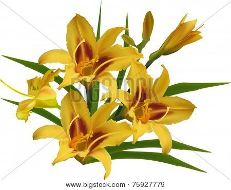 illustration with yellow lily isolated on white background