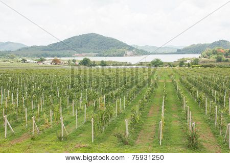 grape fram landscape