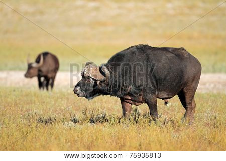Large African or Cape buffalo bull (Syncerus caffer), South Africa